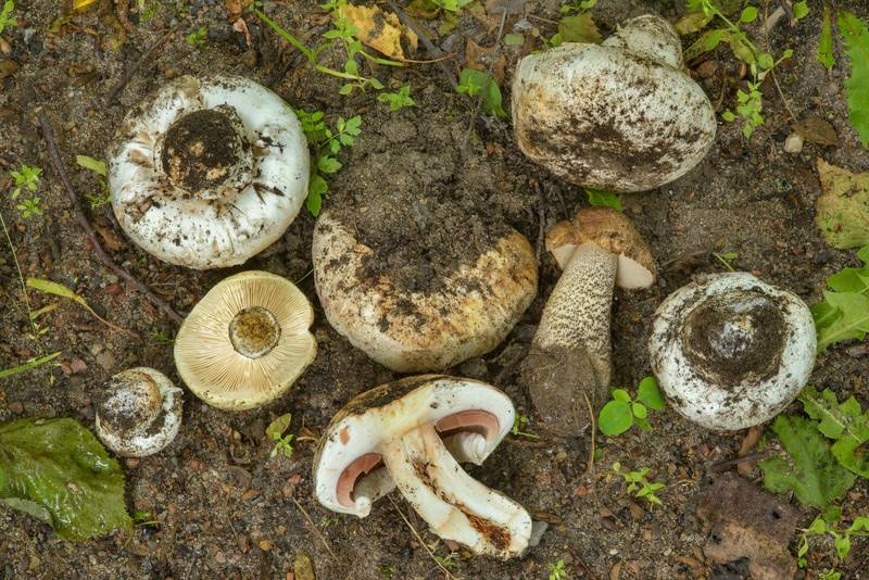 "Banded agaric (pavement mushroom, Agaricus bitorquis) and a brown birch bolete (<B>Leccinum scabrum</B>) on a lawn at 12K3 Tikhoretsky Prospect. Saint Petersburg, Russia, <A HREF=""../date-ru/2017-07-01.htm"">July 1, 2017</A>"