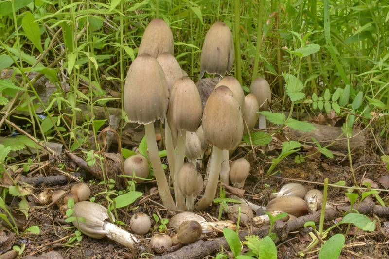 "Humpback inkcap mushrooms (<B>Coprinopsis acuminata</B>) on roadside on a site of recent tree cutting in Lembolovo, 40 miles north from Saint Petersburg. Russia, <A HREF=""../date-en/2017-07-05.htm"">July 5, 2017</A>"