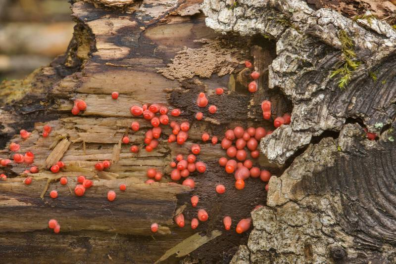Small red balls of Wolf's milk slim mold (Lycogala epidendrum)(?) on rotten wood in Sosnovka Park. Saint Petersburg, Russia, July 6, 2017