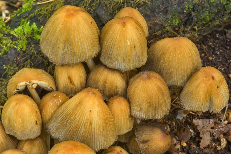 "Glistening inkcap mushrooms (<B>Coprinellus micaceus</B>) in Sosnovka Park. Saint Petersburg, Russia, <A HREF=""../date-en/2017-07-06.htm"">July 6, 2017</A>"