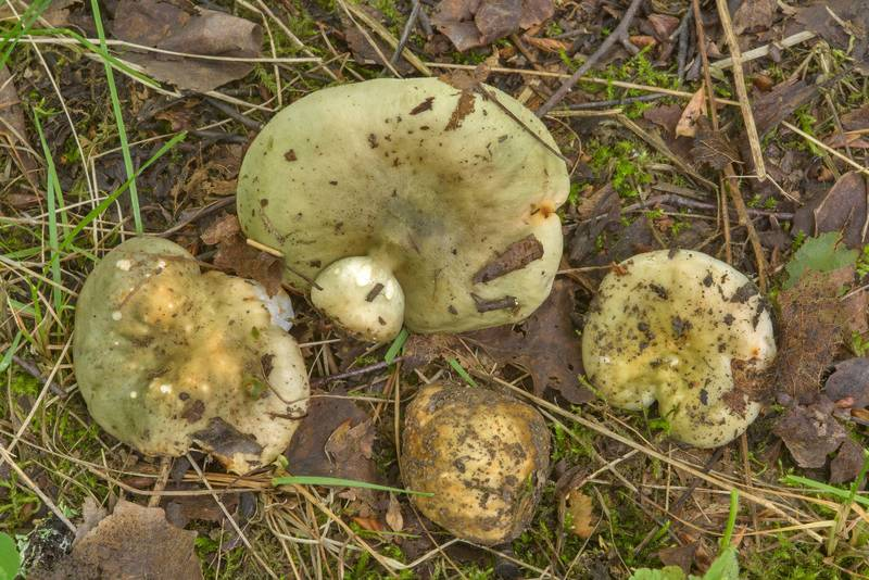 Group of green brittlegill mushrooms (Russula aeruginea) on a trail across the swamp in Yuntolovsky Park. Saint Petersburg, Russia, July 7, 2017