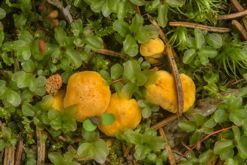 Immature chanterelle mushrooms (Cantharellus cibarius) near Shchuchye Lake in Komarovo, west from Saint Petersburg. Russia, July 8, 2017
