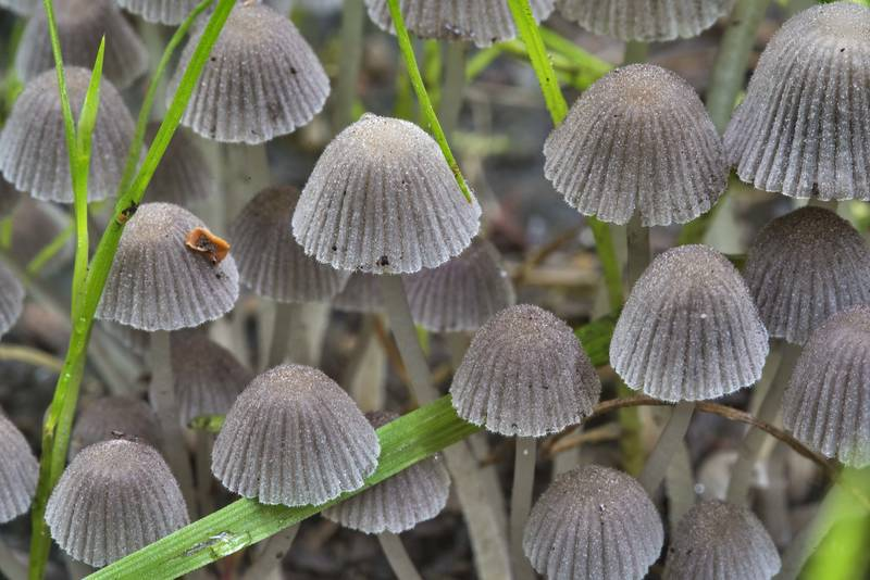 "Caps of fairy inkcap mushrooms (<B>Coprinellus disseminatus</B>) on a lawn in Sosnovka Park. Saint Petersburg, Russia, <A HREF=""../date-ru/2017-07-12.htm"">July 12, 2017</A>"