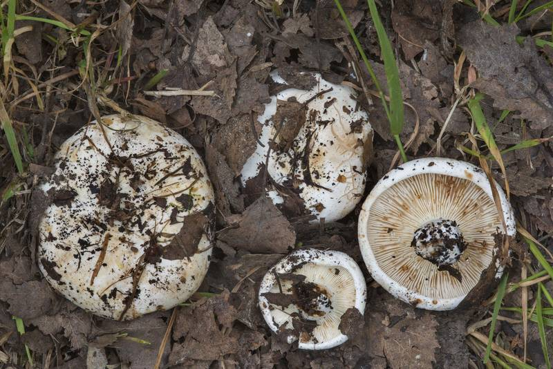 "Group of milk-white brittlegill mushrooms (<B>Russula delica</B>) in Sosnovka Park. Saint Petersburg, Russia, <A HREF=""../date-ru/2017-07-12.htm"">July 12, 2017</A>"