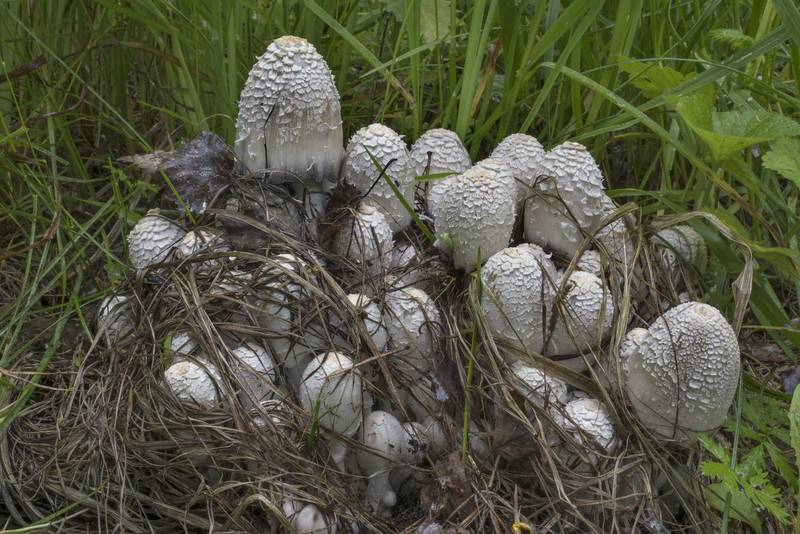 "Inkcap mushrooms <B>Coprinopsis strossmayeri</B> behind Na Privale Restaurant in Sosnovka Park. Saint Petersburg, Russia, <A HREF=""../date-ru/2017-07-12.htm"">July 12, 2017</A>"