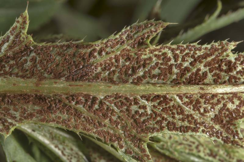 Red-brown rust fungus Puccinia punctiformis on the underside of the leaves of creeping thistle (Cirsium arvense) in Siverskaya, 50 miles south from Saint Petersburg. Russia, July 13, 2017