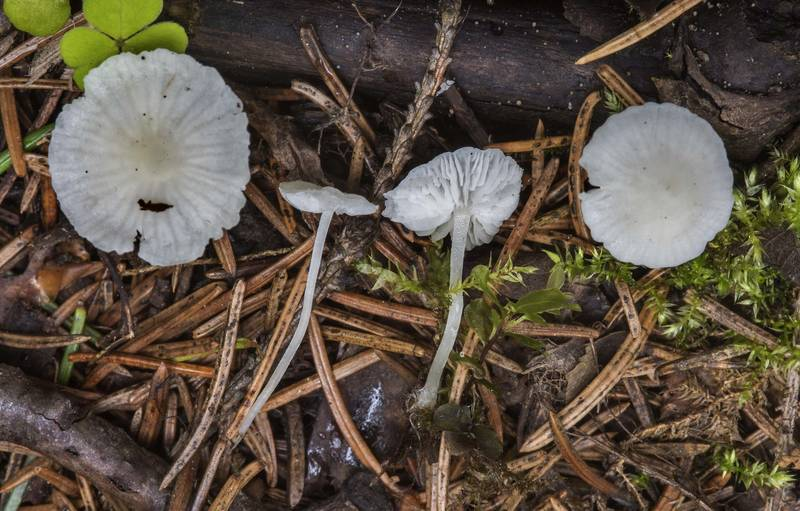 "Milky bonnet mushrooms (<B>Hemimycena lactea</B>) near Kavgolovskoe Lake in Toksovo, north from Saint Petersburg. Russia, <A HREF=""../date-ru/2017-07-14.htm"">July 14, 2017</A>"