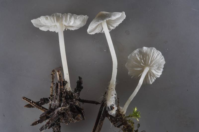 "Close up of milky bonnet mushrooms (<B>Hemimycena lactea</B>) near Kavgolovskoe Lake in Toksovo, north from Saint Petersburg. Russia, <A HREF=""../date-ru/2017-07-14.htm"">July 14, 2017</A>"