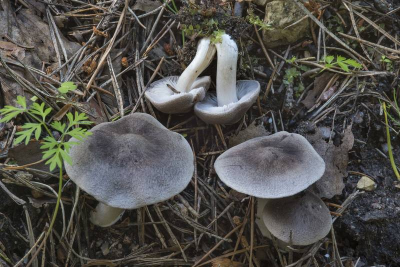 "Grey knight mushrooms (<B>Tricholoma terreum</B>) on roadside near Dibuny, north-west from Saint Petersburg. Russia, <A HREF=""../date-ru/2017-07-15.htm"">July 15, 2017</A>"