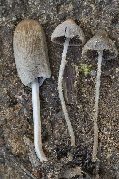 "Inkcap mushroom Coprinellus angulatus(?) and small brittlestem mushrooms <B>Psathyrella prona</B>(?) near Dibuny, north-west from Saint Petersburg. Russia, <A HREF=""../date-ru/2017-07-15.htm"">July 15, 2017</A>"