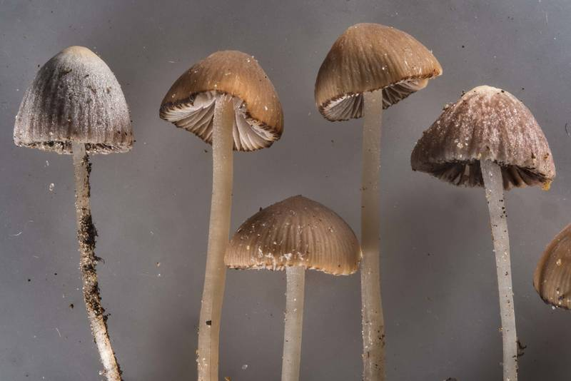 "Close up of small brittlestem mushrooms <B>Psathyrella prona</B>(?) taken from roadside near Dibuny, north-west from Saint Petersburg. Russia, <A HREF=""../date-ru/2017-07-15.htm"">July 15, 2017</A>"