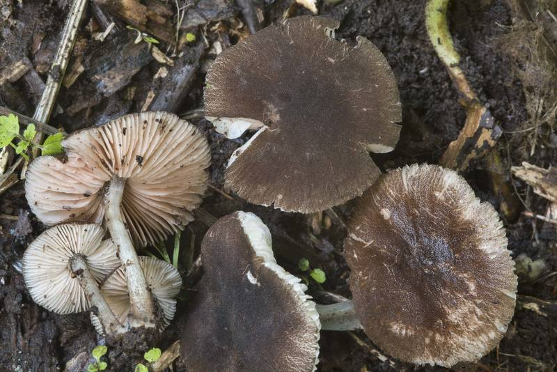 "Small mushrooms <B>Pluteus podospileus</B> on tree utilization site in Sosnovka Park. Saint Petersburg, Russia, <A HREF=""../date-ru/2017-07-19.htm"">July 19, 2017</A>"