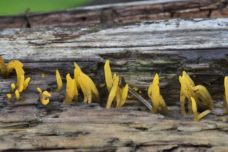Jelly fungus Calocera cornea on a log in Sosnovka Park. Saint Petersburg, Russia, July 19, 2017