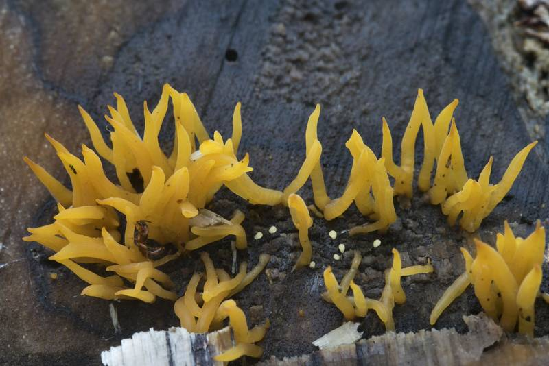 Sharp bodies of jelly fungus Calocera cornea on a log in Sosnovka Park. Saint Petersburg, Russia, July 19, 2017