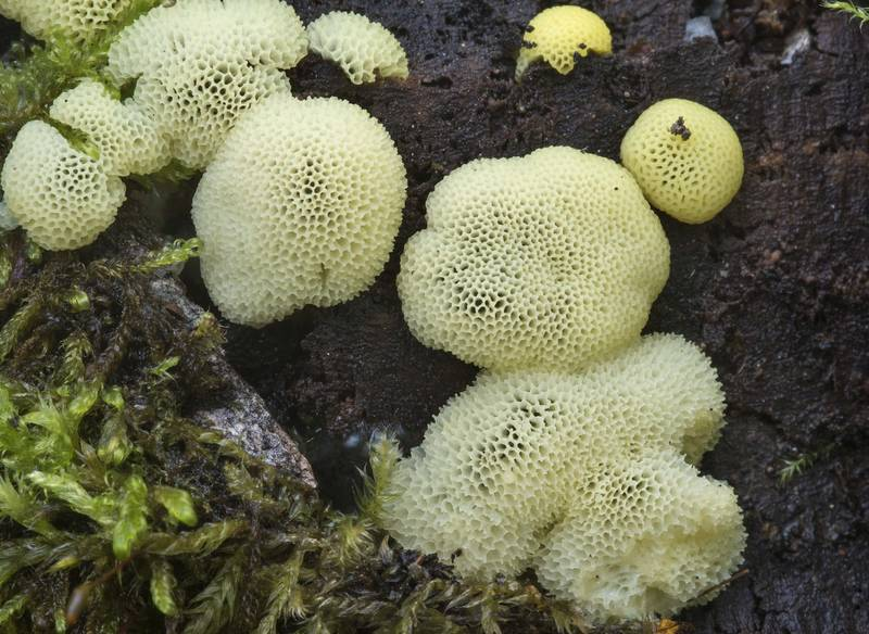 "Close up of coral slime mold (<B>Ceratiomyxa fruticulosa</B> var. porioides) in Sosnovka Park. Saint Petersburg, Russia, <A HREF=""../date-ru/2017-07-19.htm"">July 19, 2017</A>"