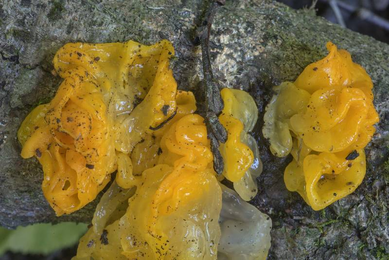 Yellow brain fungus (Tremella mesenterica) near Pesochnaya, north-west from Saint Petersburg. Russia, July 23, 2017