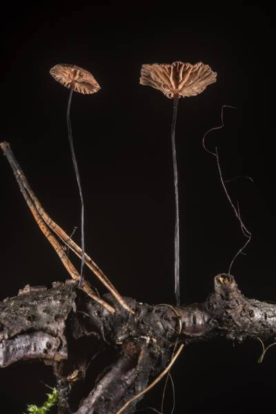 "Horsehair parachute mushrooms (<B>Gymnopus androsaceus</B>) on a twig near Pesochnaya, north-west from Saint Petersburg. Russia, <A HREF=""../date-ru/2017-07-23.htm"">July 23, 2017</A>"