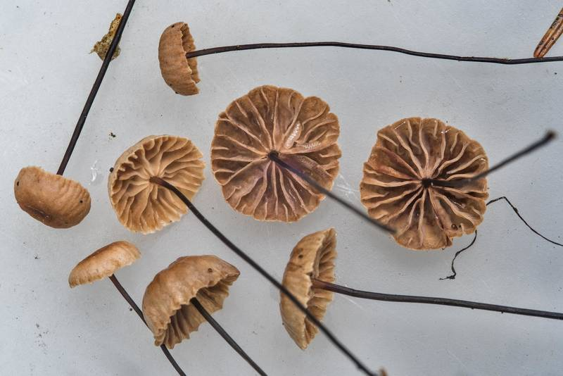 Caps of horsehair parachute mushrooms (Gymnopus androsaceus) near Pesochnaya, north-west from Saint Petersburg. Russia, July 23, 2017