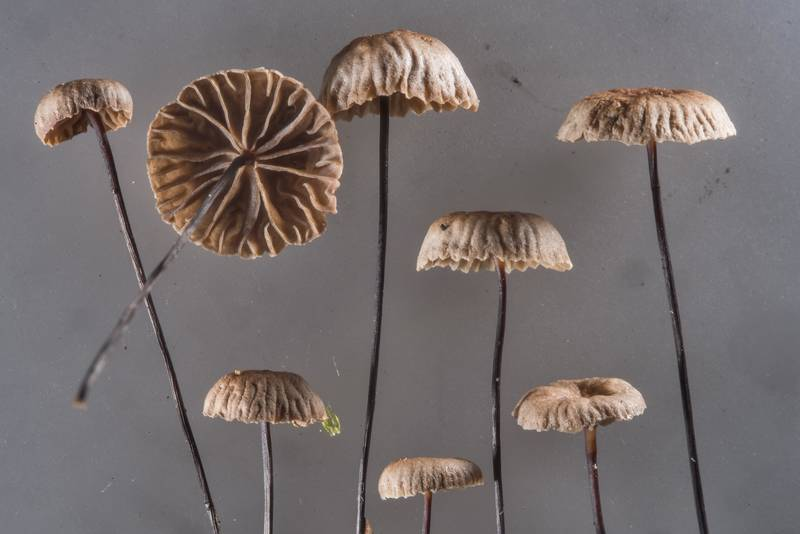 Horsehair parachute mushrooms (Gymnopus androsaceus) collected in a spruce forest near Pesochnaya, north-west from Saint Petersburg. Russia, July 23, 2017