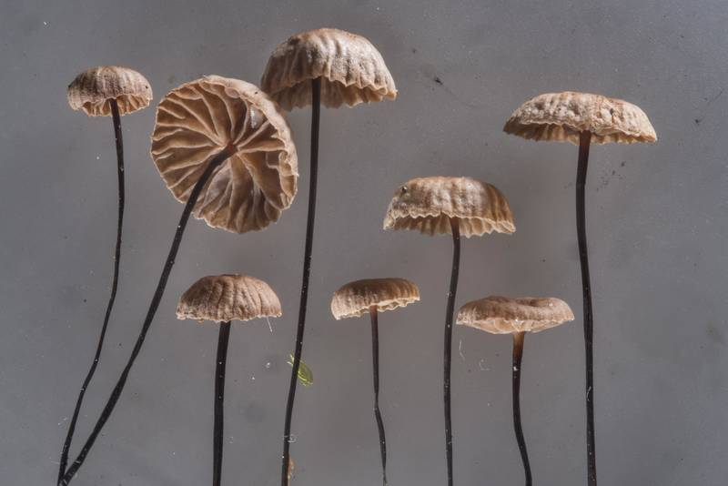 Group of horsehair parachute mushrooms (Gymnopus androsaceus) collected in a spruce forest near Pesochnaya, north-west from Saint Petersburg. Russia, July 23, 2017