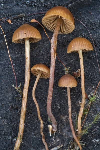 Mountain moss Psilocybe mushrooms (Psilocybe montana, Deconica montana) on a site of an old bonfire near Kavgolovskoe Lake south from Oselki, 8 miles north from Saint Petersburg. Russia, July 25, 2017