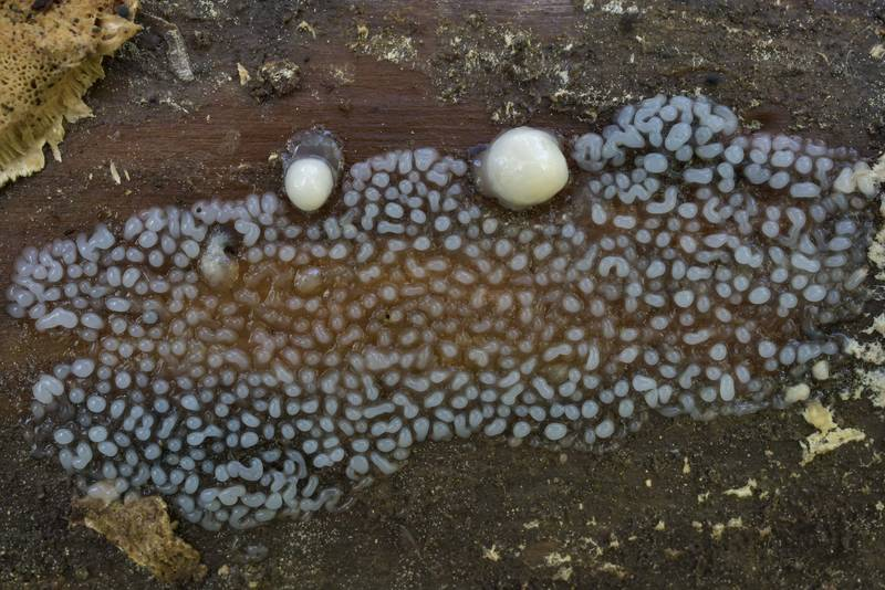 Immature coral slime mold (Ceratiomyxa fruticulosa) in Kuzmolovo, north from Saint Petersburg. Russia, July 26, 2017