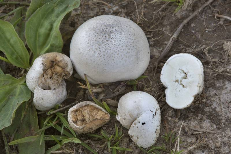 Small puffball mushrooms Lycoperdon pratense on a field road in Urochishche Khyanikiayze near Kuzmolovo, north from Saint Petersburg. Russia, July 26, 2017