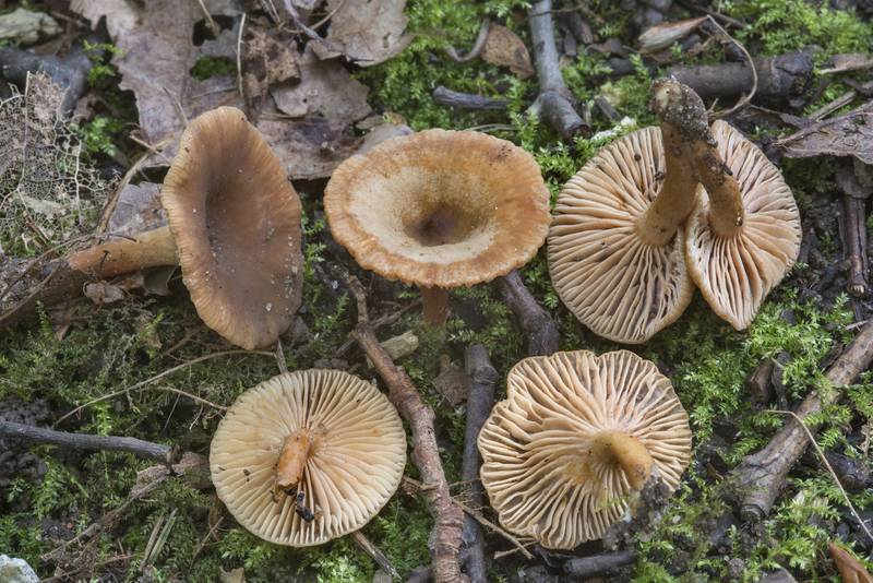 "Alder milkcap mushrooms (<B>Lactarius obscuratus</B>) on extension of Pervaya Polyanskaya Street between Polyany and Nizhnie Dubki near Lisiy Nos, west from Saint Petersburg. Russia, <A HREF=""../date-en/2017-07-27.htm"">July 27, 2017</A>"