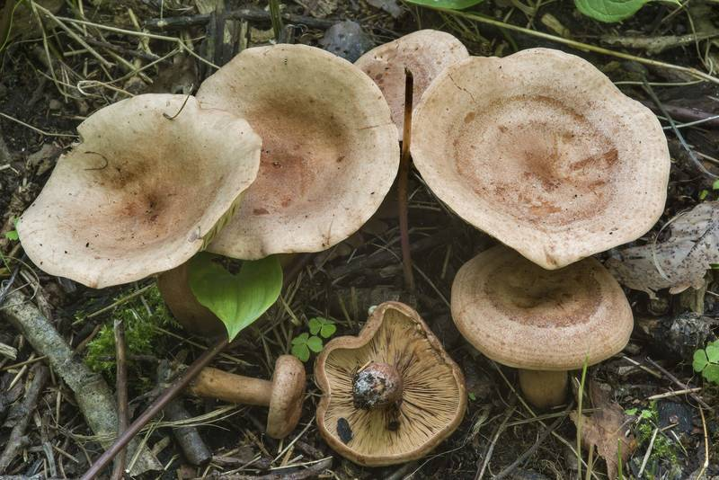 "Oakbug milkcap mushrooms (<B>Lactarius quietus</B>) near the gulf near Lisiy Nos, west from Saint Petersburg. Russia, <A HREF=""../date-en/2017-07-27.htm"">July 27, 2017</A>"