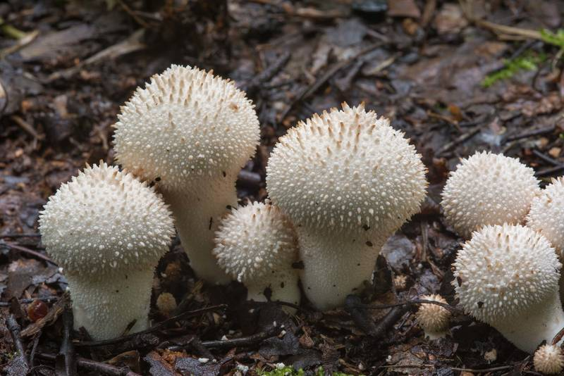 Common puffball mushrooms (Lycoperdon perlatum) in Sosnovka Park. Saint Petersburg, Russia, July 30, 2017