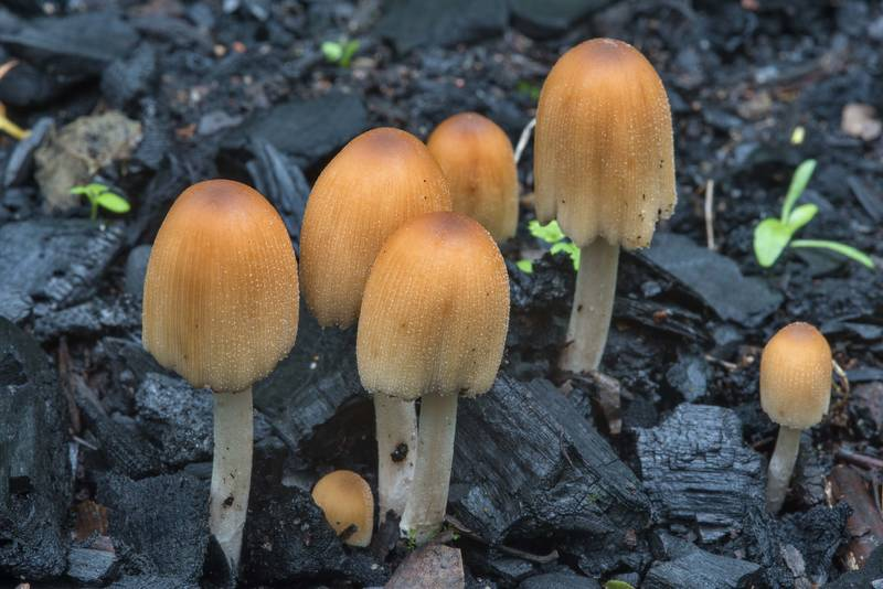 Glistening inkcap mushrooms (Coprinellus micaceus) in Sosnovka Park. Saint Petersburg, Russia, July 30, 2017