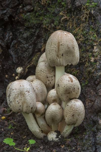 "Common inkcap (inky cap) mushrooms <B>Coprinopsis atramentaria</B> at the base of mountain ash(?) tree in Sosnovka Park. Saint Petersburg, Russia, <A HREF=""../date-ru/2017-07-30.htm"">July 30, 2017</A>"