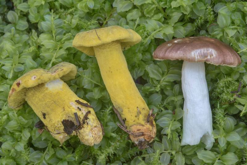Yellow-green fungus Hypomyces luteovirens on brittlegill mushrooms in a forest near Okhta River in Toksovo, north from Saint Petersburg. Russia, August 1, 2017