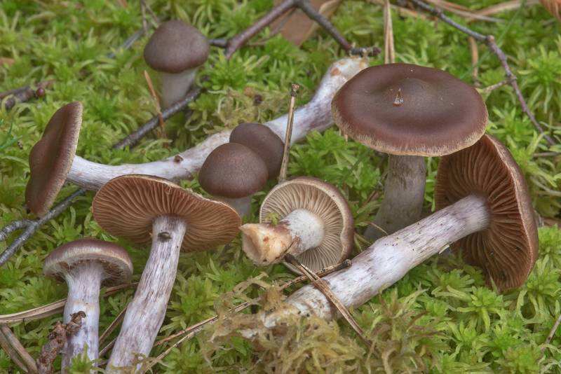 "Silky webcap mushrooms (<B>Cortinarius evernius</B>) in Yuntolovsky Park. Saint Petersburg, Russia, <A HREF=""../date-en/2017-08-03.htm"">August 3, 2017</A>"