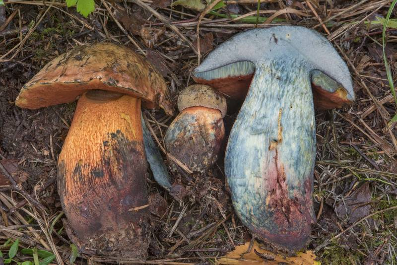 "Dissected lurid bolete mushroom (<B>Suillellus luridus</B>, Boletus luridus) in Pavlovsk Park. Pavlovsk, suburb of Saint Petersburg, Russia, <A HREF=""../date-ru/2017-08-05.htm"">August 5, 2017</A>"