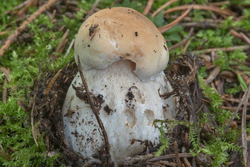 "Young penny bun mushroom (<B>Boletus edulis</B>) near Dibuny, north-west from Saint Petersburg. Russia, <A HREF=""../date-ru/2017-08-06.htm"">August 6, 2017</A>"