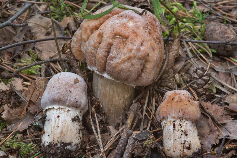 "The gypsy mushrooms (<B>Cortinarius caperatus</B>) near Dibuny, north-west from Saint Petersburg. Russia, <A HREF=""../date-en/2017-08-06.htm"">August 6, 2017</A>"