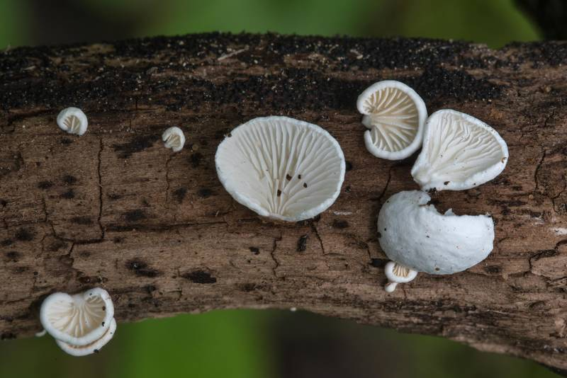 "Details of snowy oysterling mushrooms (<B>Cheimonophyllum candidissimum</B>) on a log near Dibuny, north-west from Saint Petersburg. Russia, <A HREF=""../date-ru/2017-08-06.htm"">August 6, 2017</A>"