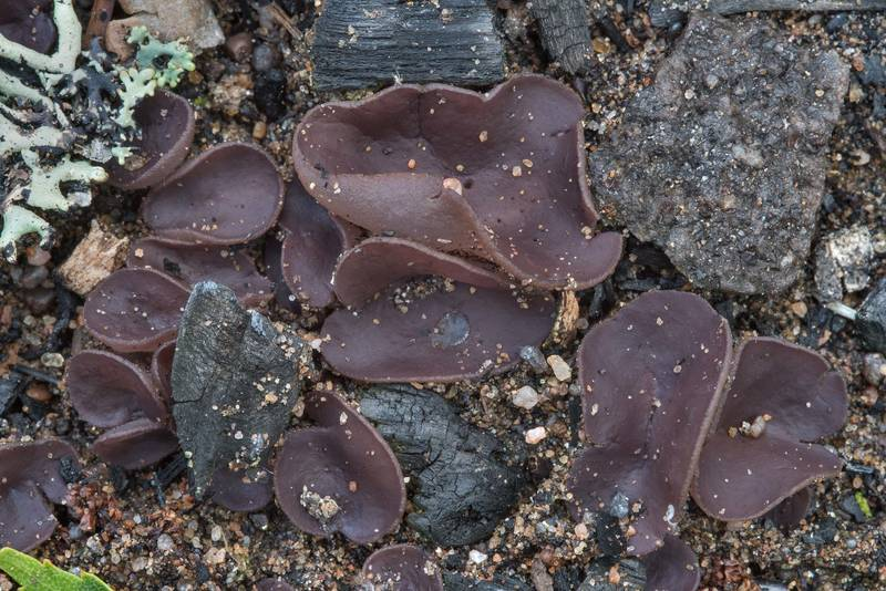 "Violet fairy cup fungus (<B>Peziza violacea</B>) on a site of old bonfire in Lembolovo, 35 miles north from Saint Petersburg. Russia, <A HREF=""../date-ru/2017-08-08.htm"">August 8, 2017</A>"