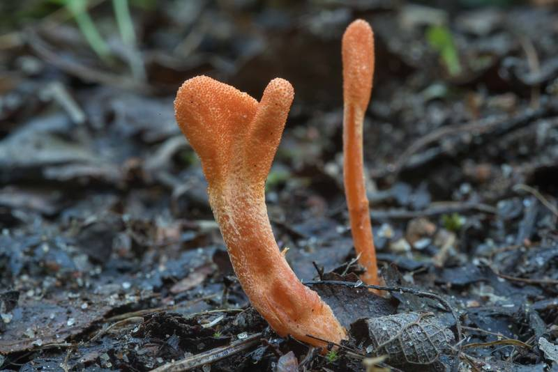 "Orange club parasitic fungus <B>Cordyceps militaris</B> in area of Kavgolovskoe Lake near Oselki - Toksovo, north from Saint Petersburg. Russia, <A HREF=""../date-ru/2017-08-09.htm"">August 9, 2017</A>"