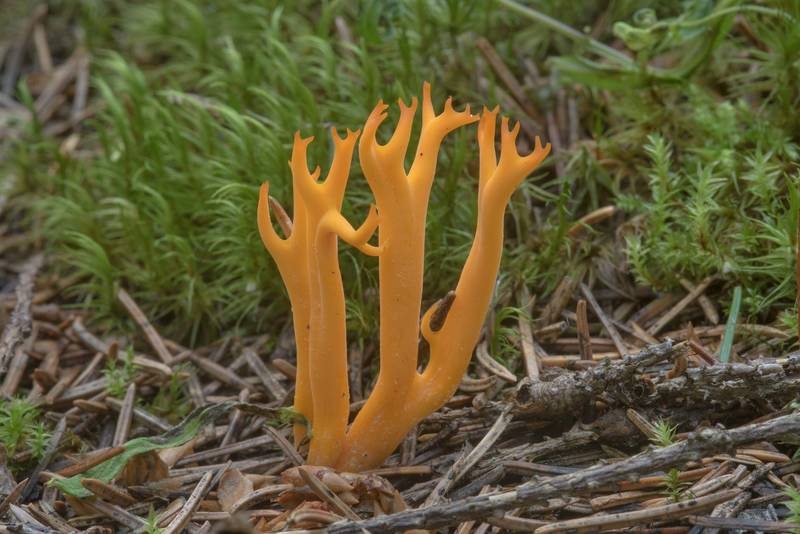 Yellow stagshorn mushroom (Calocera viscosa) in area of Kavgolovskoe Lake near Oselki - Toksovo, north from Saint Petersburg. Russia, August 9, 2017