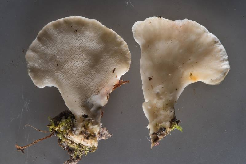 Polypore mushroom Antrodiella faginea collected from area of Kavgolovskoe Lake near Oselki - Toksovo, north from Saint Petersburg. Russia, August 9, 2017