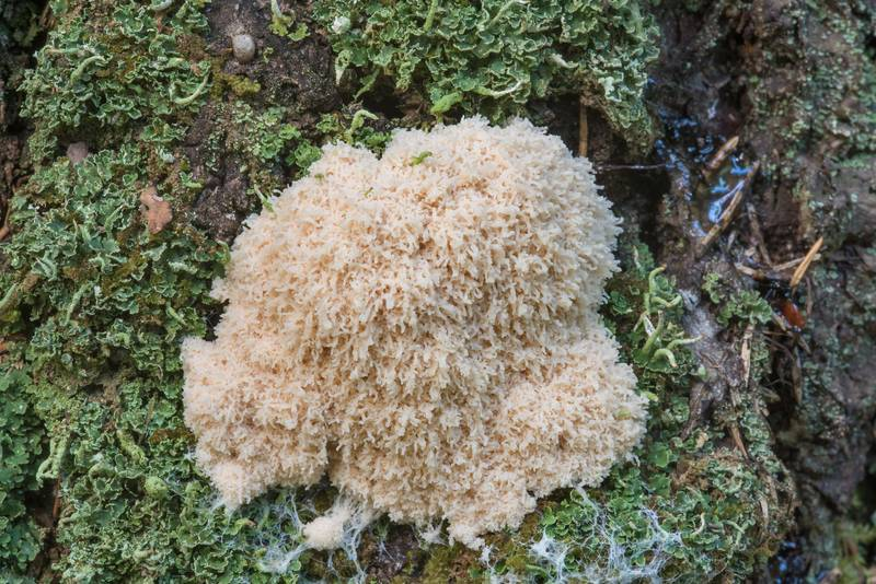 "<B>Fuligo cinerea</B> slime mold at the base of a spruce tree in Kannelyarvi, 45 miles north from Saint Petersburg. Russia, <A HREF=""../date-en/2017-08-11.htm"">August 11, 2017</A>"