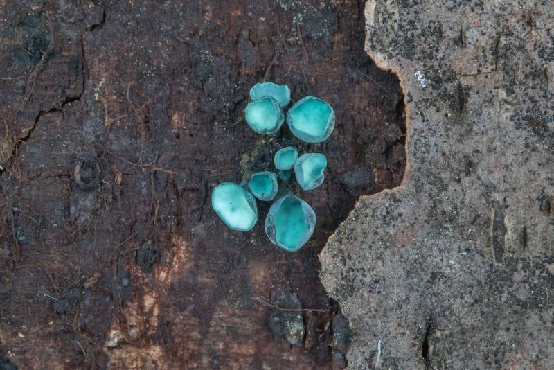 Blue cups of fungus Chlorociboria aeruginosa on rotten wood in Sosnovka Park. Saint Petersburg, Russia, August 14, 2017