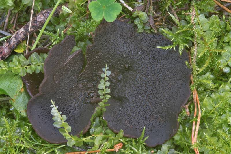 Mature bay cup fungus (Peziza badia)(?) in moss in Tarkhovka near Sestroretsk. West from Saint Petersburg, Russia, August 15, 2017