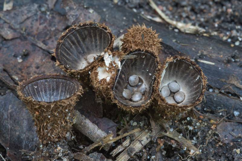 Fluted bird's nest fungus (Cyathus striatus) in Tarkhovka near Sestroretsk. West from Saint Petersburg, Russia, August 15, 2017