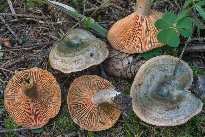 False saffron milkcap mushrooms (Lactarius deterrimus) in spruce forest in Tarkhovka near Sestroretsk. West from Saint Petersburg, Russia, August 15, 2017