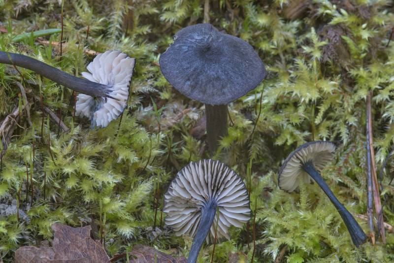 "Pine pinkgill mushroom (<B>Entocybe nitida</B>, Entoloma nitidum) near Toksovo, north from Saint Petersburg. Russia, <A HREF=""../date-ru/2017-08-16.htm"">August 16, 2017</A>"