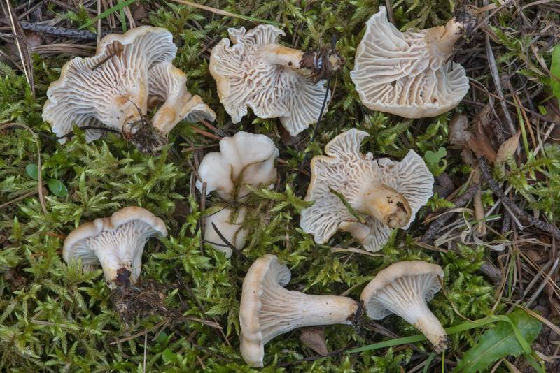 "Chanterelle mushrooms(<B>Cantharellus cibarius</B>), pale form (C. pallens), near Toksovo, north from Saint Petersburg. Russia, <A HREF=""../date-ru/2017-08-16.htm"">August 16, 2017</A>"