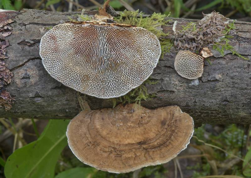 "Blushing bracket mushrooms (<B>Daedaleopsis confragosa</B>) on a fallen willow near Toksovo, north from Saint Petersburg. Russia, <A HREF=""../date-en/2017-08-16.htm"">August 16, 2017</A>"